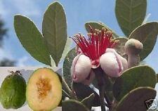Schnellwüchs. Zimmerpalme Ananas-Guave reich fruchtend frische Samen