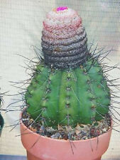Melocactus Rubrispinus, cacti rare cactus seed 20 SEEDS