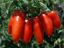 A 0.1g (approx. 25) tomato seeds PIRAMIDE unusual shape Rare Meaty Rich flavor