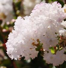 WHITE FLOWERING CREPE MYRTLE LAGERSTROEMIA INDICA FLOWERING TREE 100 SEED PACK