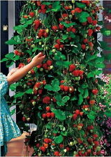 red 100pcs strawberry Climbing strawberry four season fruits seeds JP