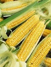 50 Golden Bantam Corn Seeds Vegetable