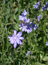 Premium Forage Chicory Perennial Deer and Wildlife  Food Plot Seed 2 pounds