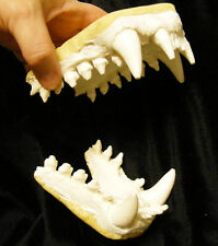 Seal sea lion jaws teeth cast replica reproduction taxidermy