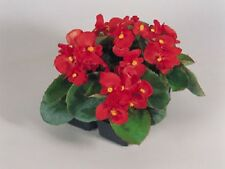 50 Pelleted Seeds Begonia Super Olympia Red BUY FLOWER SEEDS