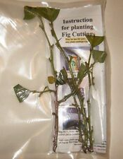 3 - 5 Fresh Native American Persimmon Tree Cuttings Produces Fruit Louisiana