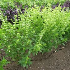 Herb Seeds - Basil Bush - 2000 Seeds