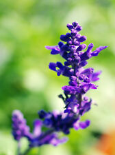 Sage Seeds 30 Seeds Blue Salvia Farinacea Mealycup Sage Flower Garden Seeds A159