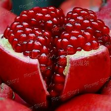 Sweet  20 Giant Pomegranate Seeds Heirloom Juicy Red Liquid Free Shipping 1