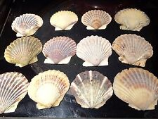 """24 Scallop Shells Provincetown Cape Cod Bay Scallops 1.5-3"""" for Shell Projects"""