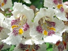 NORTHERN CATALPA TREE(Catalpa speciosa) Indian Cigar Flower 50 Seeds