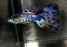 1 Nebula Steel Young Male Guppy Metallic Rainbow of Colors