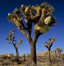 15 Exotic Joshua Tree Seeds, Yucca brevifolia Palm, Cold Hardy baccata var.