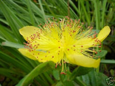 200 St. Johns Wort Seeds ~Garden Herb ~Herbal  ~Medicinal Plant