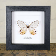 The Amber Phantom Butterfly in Box Frame (Haetera piera)