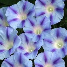 BLUE STAR MORNING GLORY _ Imopea Tricolor Flower Vine Seeds (5 seeds) F-206