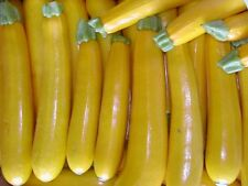 25 GOLDEN ZUCCHINI SUMMER SQUASH 2017 (all non-gmo heirloom vegetable seeds!)