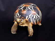 Life Size Radiated Tortoise Turtle Replica Upgraded Ver. 13cm