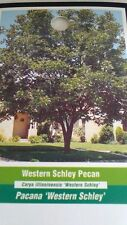 WESTERN SCHLEY PECAN TREE Shade Trees Live Healthy Plant Large Pecans Nuts Wood