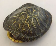 Real Turtle Shell - Red Eared Slider 3 - 4 inch