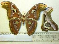 Real Butterfly/Moth dried insect specimens.Attacus atlas .Large male.