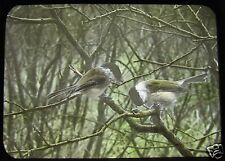 Glass Magic Lantern Slide EUROPEAN BIRDS NO22 GREAT TITS ORNITHOLOGY PHOTO