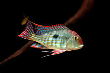 Geophagus sp. red head Tapajos ** South American Cichlid **