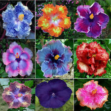 9 Colors Dinnerplate Hibiscus /Perennial Flower 20 Seeds /Huge 10-12 Inch Flower