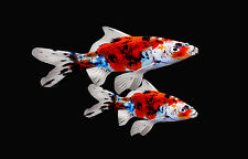2 Exotic Fresh Water Shubunkin Goldfish Live Fish for koi Pond NDK Fast Shipping