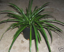 SOLID GREEN SPIDER PLANT/AIRPLANE PLANT: MATURE PLANTS: 1 GALLON POT!
