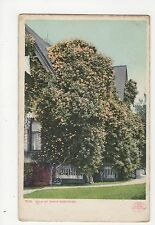 USA, Gold of Ophir Rose Bush Postcard, A808