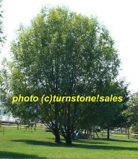 "Ten 12"" Rooted Cuttings Austree Hybrid Willow Tree Fast Growing Windbreak Shade"