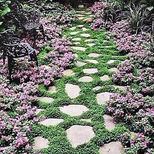 KIDNEY CREEPER SEEDS DICHONDRA REPENS LAWN GROUNDCOVER 1200 SEED PACK