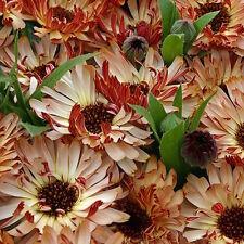 10 Seeds Calendula Flower - BRONZED BEAUTY Hybrid Good Growing Seeds