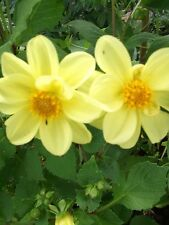 DAHLIA SINGLE MIXED - RED - YELLOW - 125 SEEDS