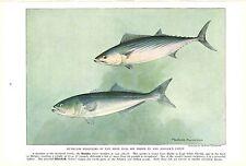 Vintage Scarce Hashime Murayama Fish Print ~ Bonito and Bluefish ~