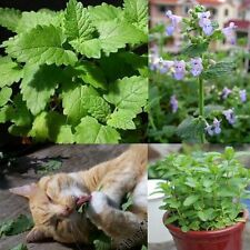 400pcs Catnip Seeds Catmint Nepeta Cataria Organic Garden Home Herb Plants Seed