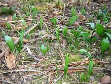 Bärlauch Pflanzen ( Zwiebeln) 10 Stück frisch aus unserem naturbelassenen Garten