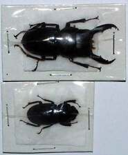 DORCUS INTERMEDIUS ssp - unmounted beetle 35-39MM