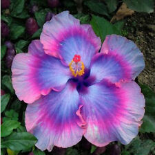 "100X Potted Rare ""Giant Hibiscus"" Exotic Plant Coral Flowers Seeds Mix Colors"