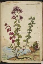 Origanum Planta Botánica Vintage impresión 7x5 Pulgadas Reimpresión