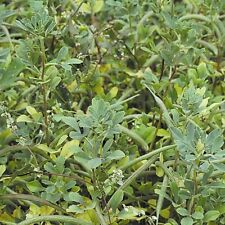 Green Manure Seeds - Fenugreek - 2.5kg