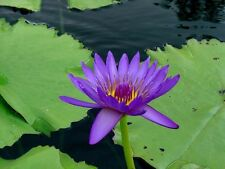 Nymphaea capensis PURPLE TROPICAL WATER LILY SEEDS