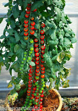 Cherry Tomato Seeds Solanum Lycopersicon Seeds 20 Seeds