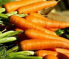 ☺1000 graines bio de carottes chantenay 2 à coeur rouge récolte 2016