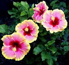 9 Mix  Colors Dinnerplate Hibiscus,Easy to Grow,Huge10-12 Inch Flowers-180seed