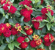 "LANTANA - BANDITO RED  - TALL GROUND COVER  - MULTI COLOR - 3 PLANTS - 4"" POTS"