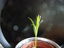 Rooted Cutting Cyperus alternifolius (Umbrella Palm) Papyrus Pond or House Plant