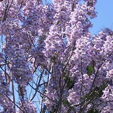 Paulownia Elongata - PINK FOXGLOVE TREE - 50 Fresh Seeds - Princess Empress Tree