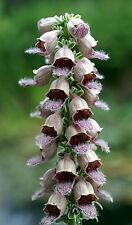 Ca. 200 Samen Digitalis ferruginea gigantea MIX - Rostfarbener Fingerhut